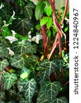 a wall of common ivy. usuable... | Shutterstock . vector #1224840967