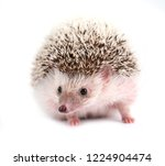 african pygmy hedgehog isolated ...   Shutterstock . vector #1224904474