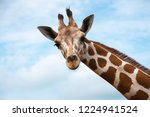 Stock photo closeup giraffe on blue sky background 1224941524