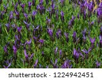 lavender  a beautiful flower... | Shutterstock . vector #1224942451