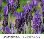 lavender is a favorite industry ... | Shutterstock . vector #1224943777