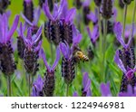 a bee landing on a lavender... | Shutterstock . vector #1224946981