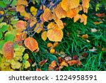 orange and golden foliage of...   Shutterstock . vector #1224958591