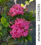 pink thai spike flower or ixora.... | Shutterstock . vector #1224962281