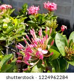 pink thai spike flower or ixora.... | Shutterstock . vector #1224962284