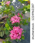 pink thai spike flower or ixora.... | Shutterstock . vector #1224962287