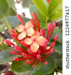 red thai spike flower or ixora... | Shutterstock . vector #1224977617