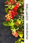 red thai spike flower or ixora... | Shutterstock . vector #1224977641
