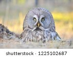 the bearded tawny length of the ... | Shutterstock . vector #1225102687