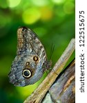 Постер, плакат: Owl butterfly Caligo is