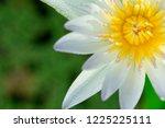 Close Up Of White Lotus Flower...