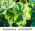 green leaves of lady's mantle ... | Shutterstock . vector #1225230424