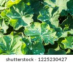 green leaves of lady's mantle ... | Shutterstock . vector #1225230427