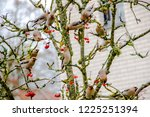a bunch of waxwing birds are... | Shutterstock . vector #1225251394