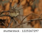 tawny flanked prinia bird in... | Shutterstock . vector #1225267297