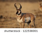 Pronghorn Antelope In Early...
