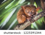 Endangered tarsier in bohol...
