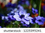anemone coronaria  purple...   Shutterstock . vector #1225395241