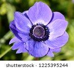 anemone coronaria  purple...   Shutterstock . vector #1225395244