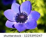 anemone coronaria  purple...   Shutterstock . vector #1225395247
