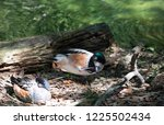 two chiloe wigeons  one resting ... | Shutterstock . vector #1225502434