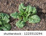Spinach Plants In The Garden.