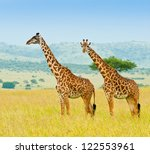 Two Giraffes  Kenya  Africa