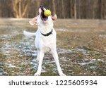 a playful labrador retriever... | Shutterstock . vector #1225605934