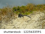 iguana walking on sand dune on... | Shutterstock . vector #1225633591