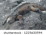 sea iguana basking on rock in... | Shutterstock . vector #1225633594