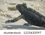 iguana walking on sandy beach... | Shutterstock . vector #1225633597