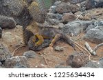 land iguana relaxing under a... | Shutterstock . vector #1225634434