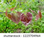 the heart shaped leaves of the... | Shutterstock . vector #1225704964