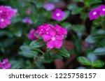 soft focus   close up vinca ... | Shutterstock . vector #1225758157
