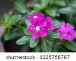 soft focus   close up vinca ... | Shutterstock . vector #1225758787