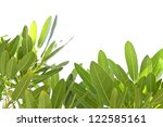 green leaves on white background | Shutterstock . vector #122585161