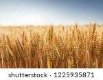 wheat in the farm | Shutterstock . vector #1225935871