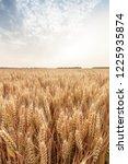 wheat in the farm | Shutterstock . vector #1225935874