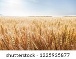 wheat in the farm | Shutterstock . vector #1225935877