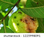 close up of a queensland fruit... | Shutterstock . vector #1225998091