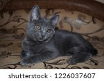 Stock photo grey kitten cat portrait cute little cat portrait cat posing gray kitten portrait 1226037607