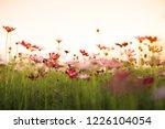 cosmos flowers in sunset | Shutterstock . vector #1226104054