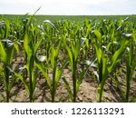 corn field for biogas | Shutterstock . vector #1226113291