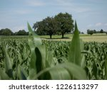 corn field for biogas | Shutterstock . vector #1226113297