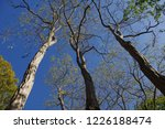 the tall trees of a park in the ... | Shutterstock . vector #1226188474