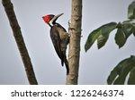 Crimson Crested Woodpecker...