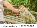 Berber Monkey Takes Food From ...