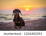 Portrait Dog Breed Dachshund ...