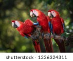 Scarlet Macaw Costa Rica Photo...