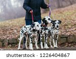 Stock photo dog walker with dalmatian dogs enjoying in park 1226404867